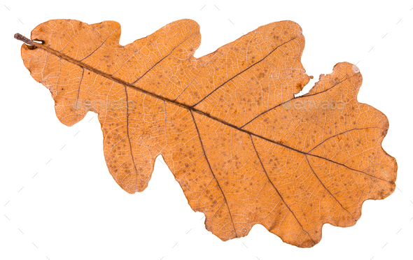 back side of autumn dried leaf of oak tree - Stock Photo - Images