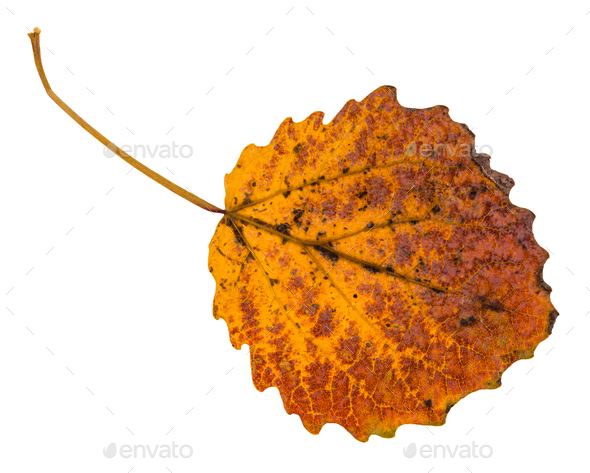 pied yellow fallen leaf of aspen tree isolated - Stock Photo - Images
