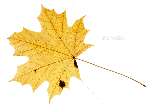 fallen yellow leaf of acer tree isolated - Stock Photo - Images