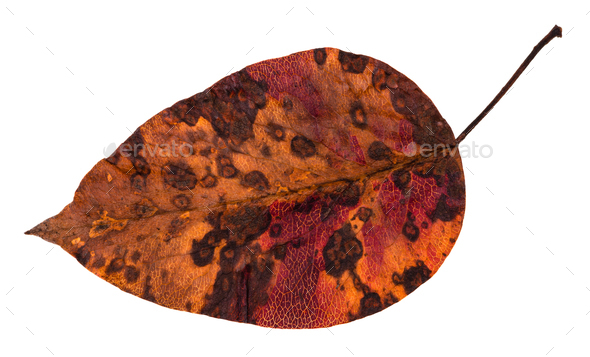 decayed dried leaf of apple tree isolated - Stock Photo - Images