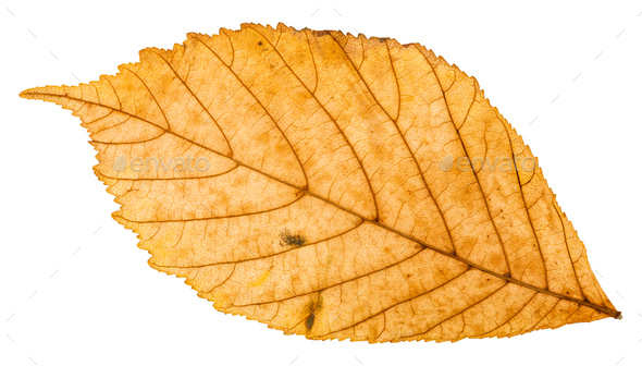 back side of yellow autumn leaf of parthenocissus - Stock Photo - Images