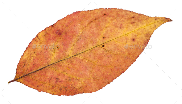 back side of autumn leaf of willow tree isolated - Stock Photo - Images