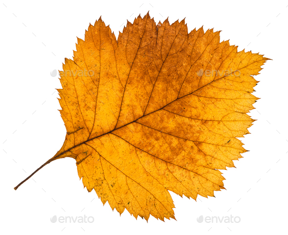 yellow autumn leaf of hawthorn tree isolated - Stock Photo - Images