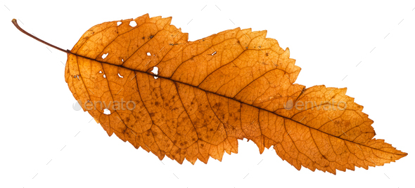 broken leaf of ash tree isolated on white - Stock Photo - Images