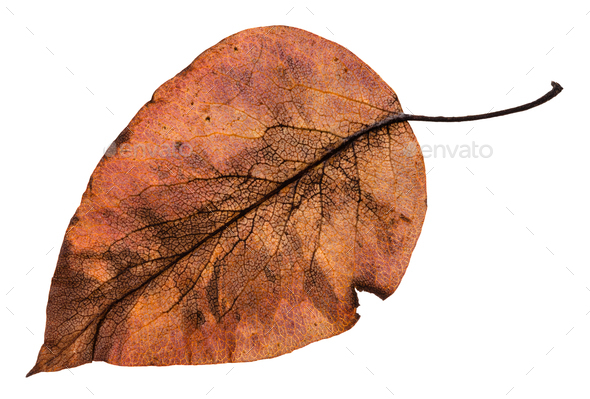 back side of autumn rotten brown leaf of apple - Stock Photo - Images