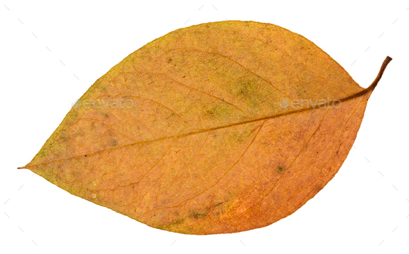 back side of red and yellow leaf of apple tree - Stock Photo - Images