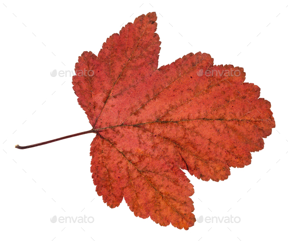 dried leaf of viburnum tree isolated on white - Stock Photo - Images
