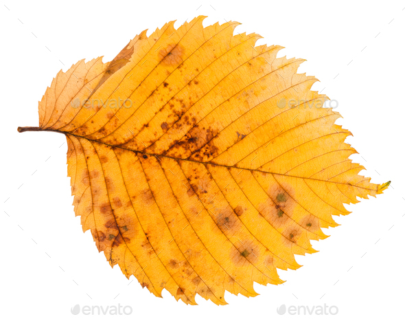 decayed autumn leaf of elm tree isolated - Stock Photo - Images