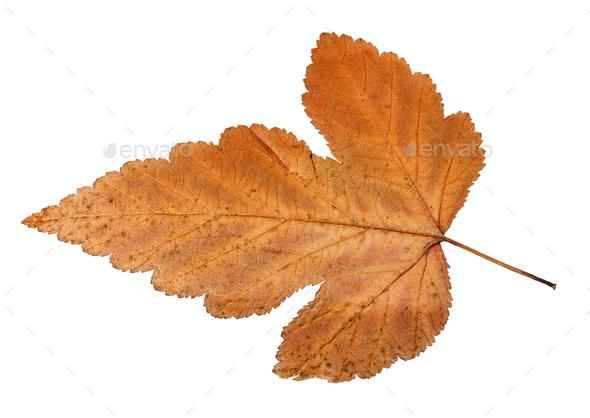back side of autumn leaf of viburnum tree - Stock Photo - Images
