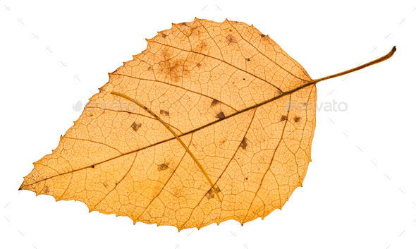 autumn yellow leaf with needle of larch tree - Stock Photo - Images