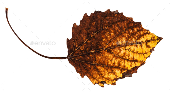 decayed dried leaf of aspen tree isolated - Stock Photo - Images