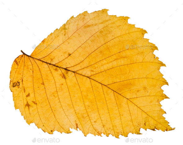 yellow autumn leaf of elm tree isolated - Stock Photo - Images