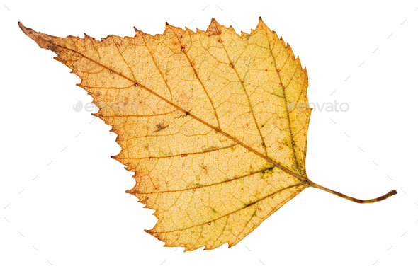 back side of fallen leaf of birch tree isolated - Stock Photo - Images