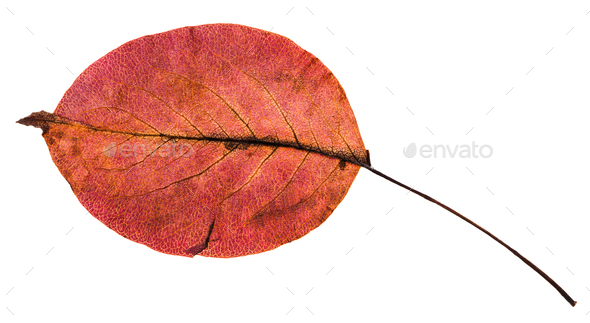 back side of red autumn leaf of pear tree - Stock Photo - Images