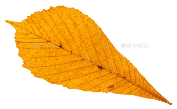 back side of dried autumn leaf of horse chestnut - Stock Photo - Images