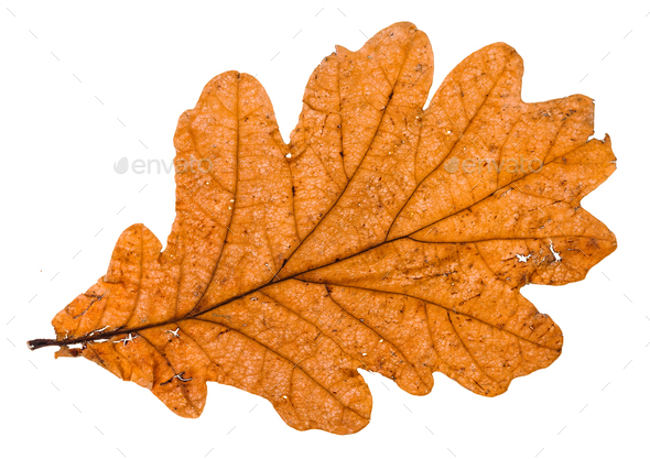 autumn broken leaf of oak tree isolated - Stock Photo - Images