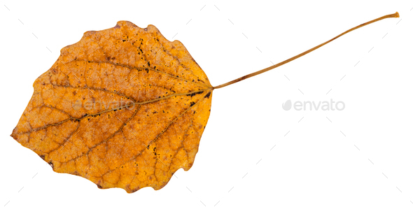 back side of fallen leaf of aspen tree isolated - Stock Photo - Images
