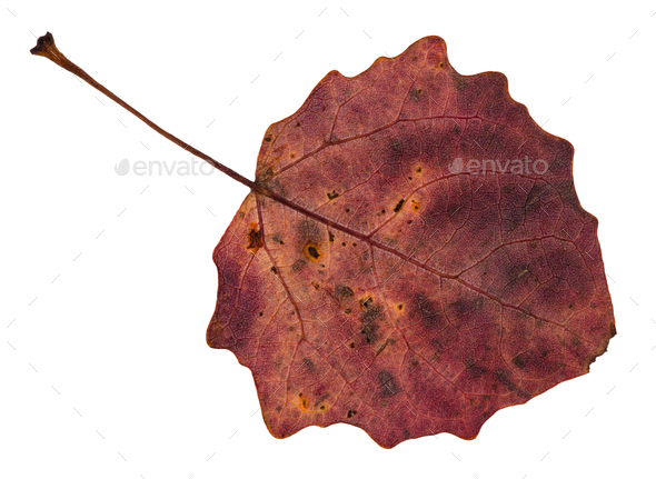 back side of red fallen leaf of aspen tree - Stock Photo - Images