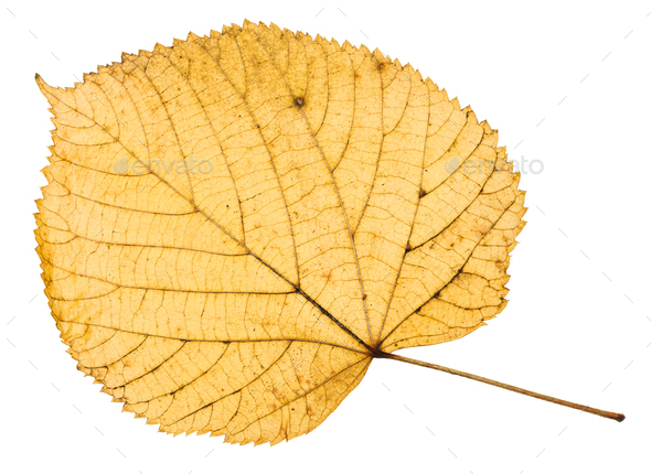 back side of yellow autumn leaf of linden tree - Stock Photo - Images