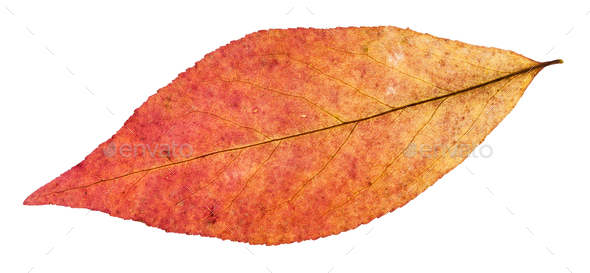 back side of red leaf of willow tree isolated - Stock Photo - Images