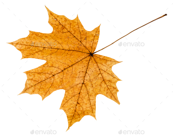 back side of yellow autumn leaf of maple tree - Stock Photo - Images