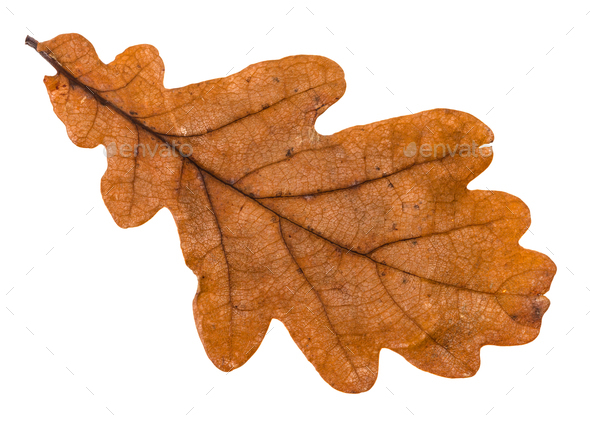 autumn brown leaf of oak tree isolated - Stock Photo - Images