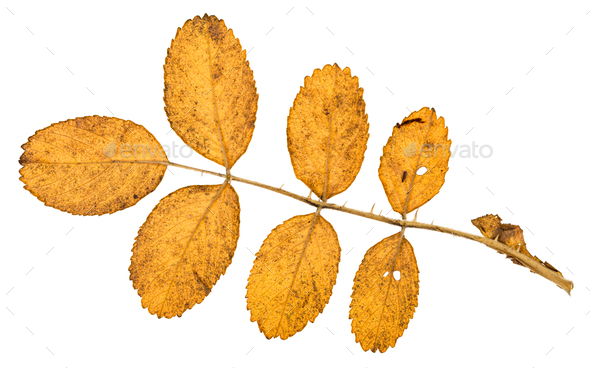 back side of twig with yellow leaves of dog rose - Stock Photo - Images