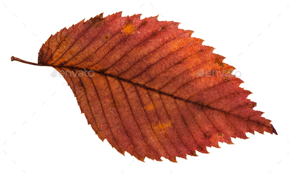 rotten dried red leaf of elm tree isolated - Stock Photo - Images