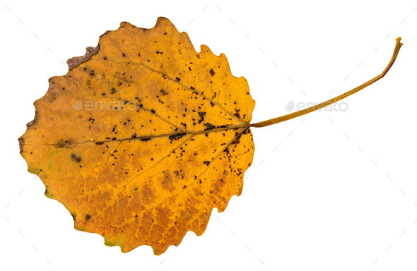 back side of pied yellow fallen leaf of aspen tree - Stock Photo - Images