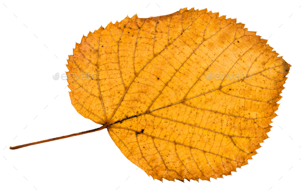 back side of fallen autumn leaf of linden tree - Stock Photo - Images