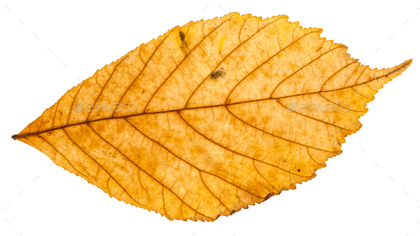 yellow autumn leaf of parthenocissus plant - Stock Photo - Images