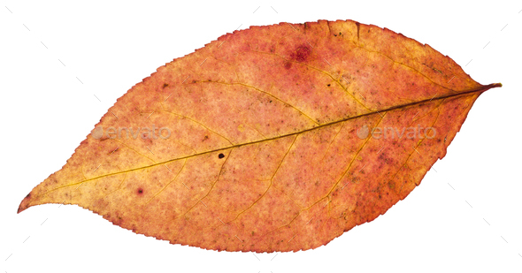 autumn leaf of willow tree isolated on white - Stock Photo - Images