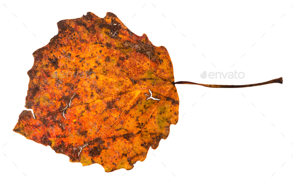 broken autumn fallen leaf of aspen tree - Stock Photo - Images