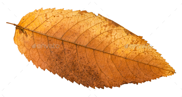 autumn rotten leaf of ash tree isolated - Stock Photo - Images