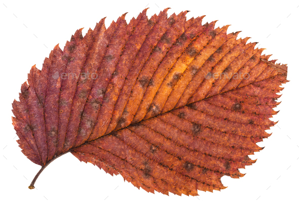 pied red autumn leaf of elm tree isolated - Stock Photo - Images