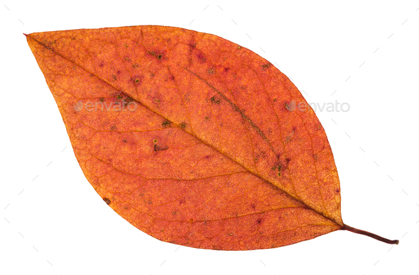 fallen autumn red leaf of apple tree isolated - Stock Photo - Images