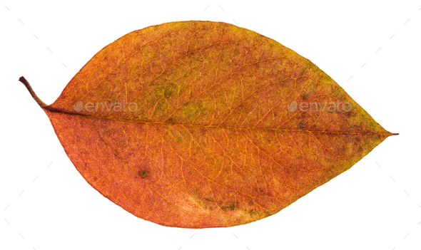 dried red and yellow leaf of apple tree isolated - Stock Photo - Images