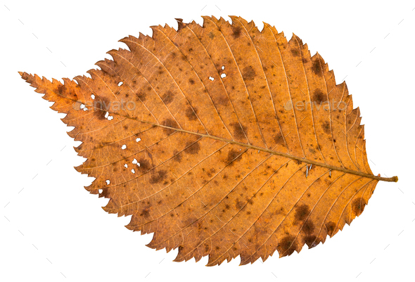 back side of autumn decayed holey leaf of elm tree - Stock Photo - Images