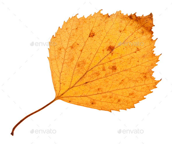 back side of yellow dried leaf of hawthorn tree - Stock Photo - Images