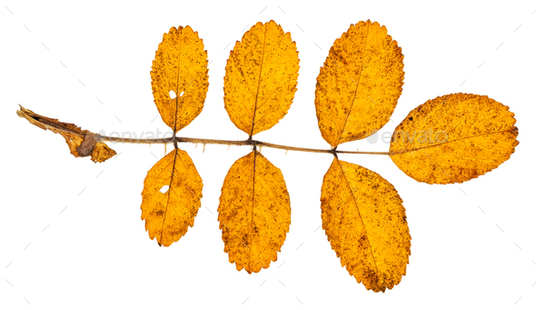 twig with autumn yellow leaves of dog rose plant - Stock Photo - Images