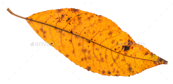 back side of dried yellow leaf of ash tree - Stock Photo - Images