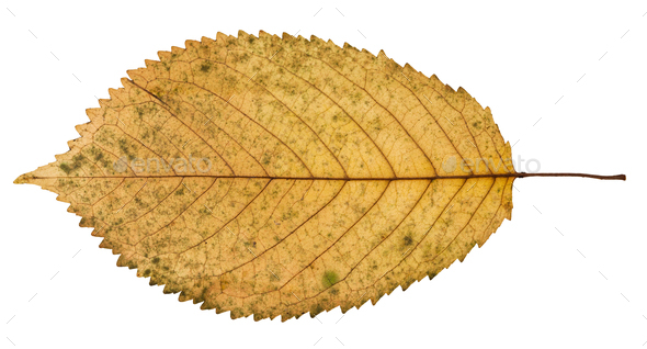 back side of fallen yellow leaf of prunus tree - Stock Photo - Images