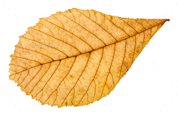 back side of autumn yellow leaf of horse chestnut - Stock Photo - Images