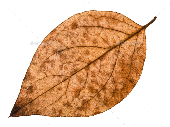 back side of autumn decayed leaf of poplar tree - Stock Photo - Images