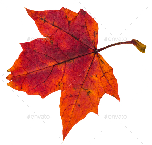 red autumn leaf of maple tree isolated - Stock Photo - Images