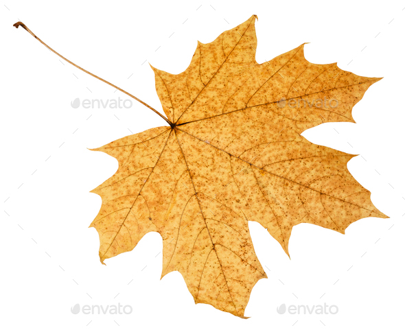 back side of fallen autumn leaf of acer tree - Stock Photo - Images