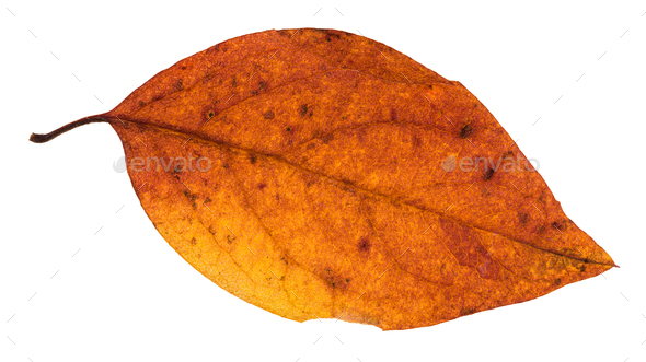 red and yellow autumn leaf of poplar tree isolated - Stock Photo - Images