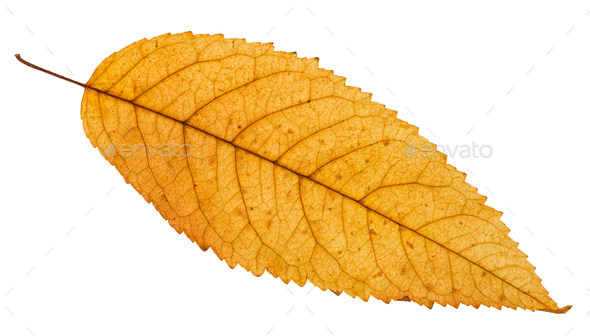 fallen yellow leaf of ash tree isolated - Stock Photo - Images