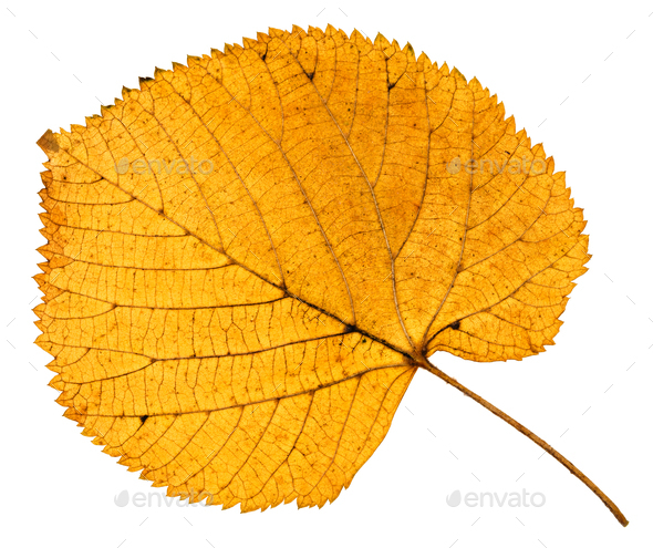 back side of dried autumn leaf of linden tree - Stock Photo - Images