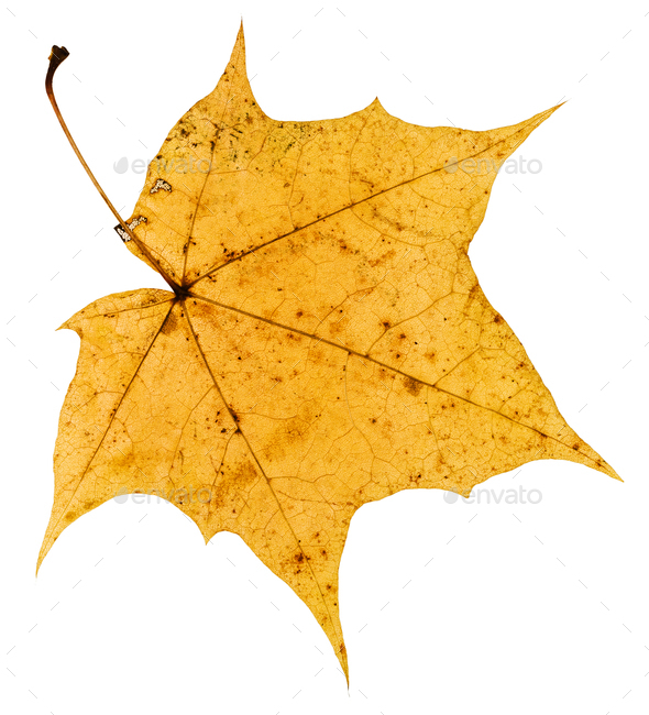 back side of old yellow autumn leaf of maple tree - Stock Photo - Images